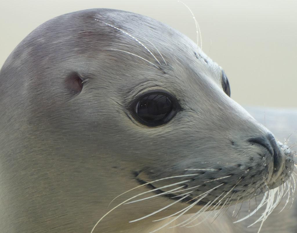 A seal Stellendam